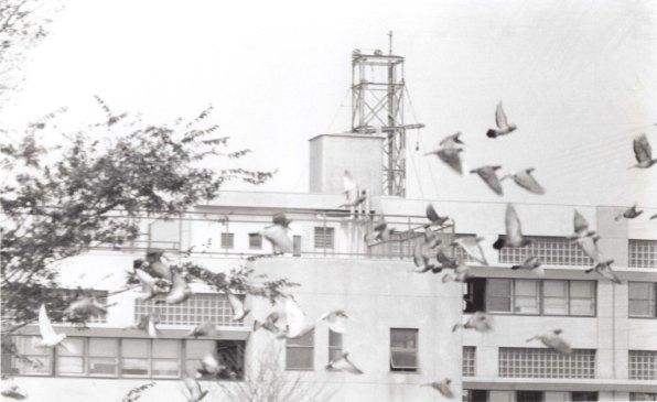 日野市市制祝賀行事 1963 - 祝い放鳩
