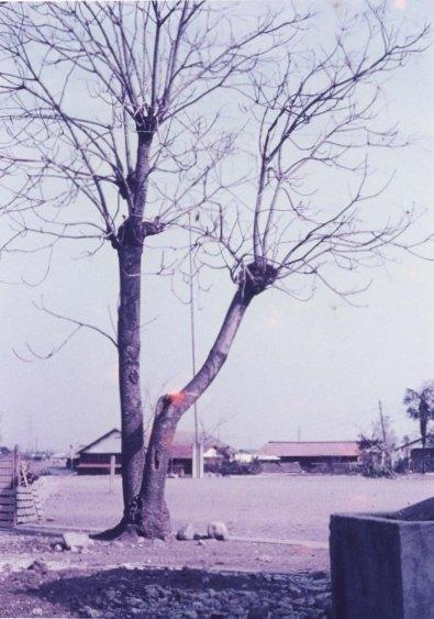 日野小学校跡の青桐 1963頃