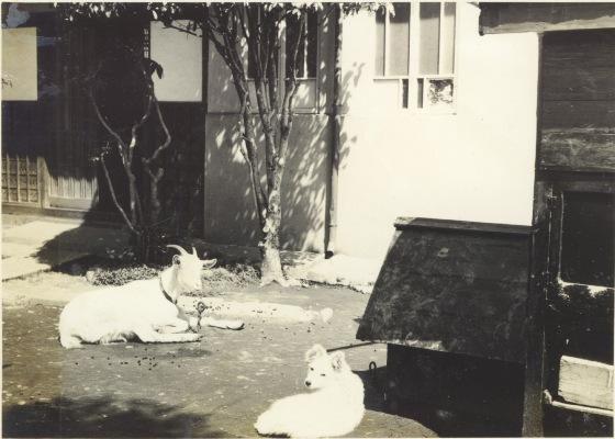 古谷家のヤギと犬 1956