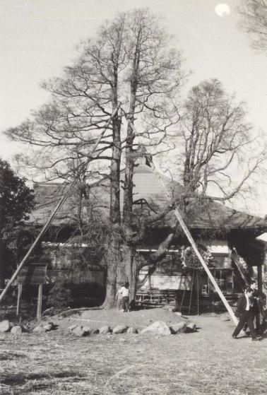 安養寺のイトヒバ