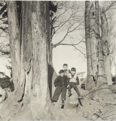 八坂神社 ‐ ケヤキの大木 昭和30年代