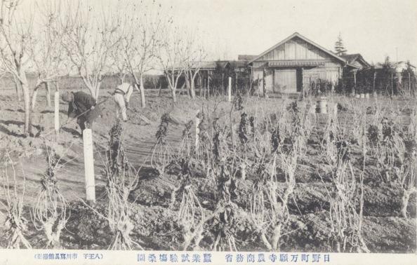 日野町万願寺農商務省農業試験場桑畑 ‐ 絵葉書