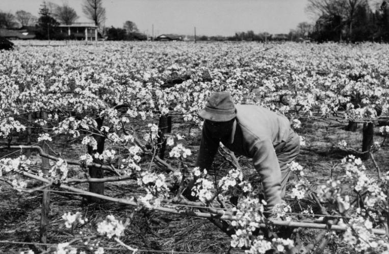 梨の剪定作業 昭和30年代から40年代か