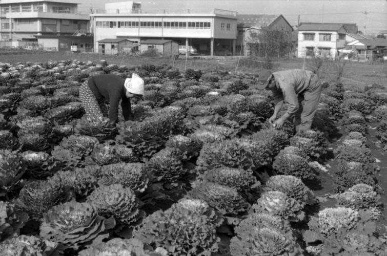 岩澤栄司家の葉ボタン畑 1969 - 下河原 -