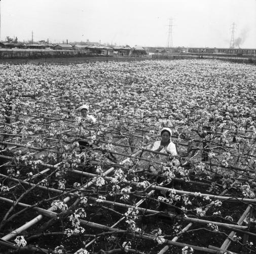 梨畑の作業 - 万願寺篠崎貫治氏梨園 - 1969