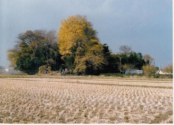 薬王寺の樹木 1984(2)