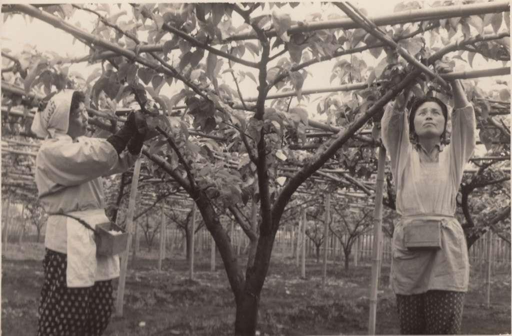 梨の袋かけ作業-日生園