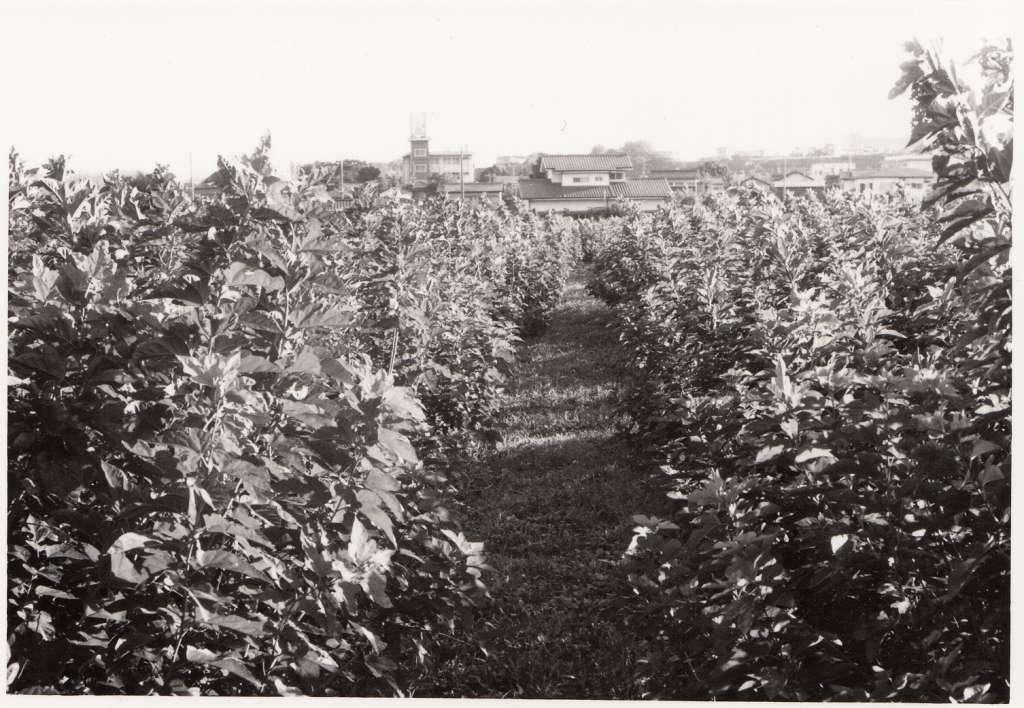蚕糸試験場日野桑園(02)桑園から蚕糸試験場の建物を望む 1970年代後半